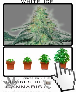 Comment tailler White Ice cannabis?