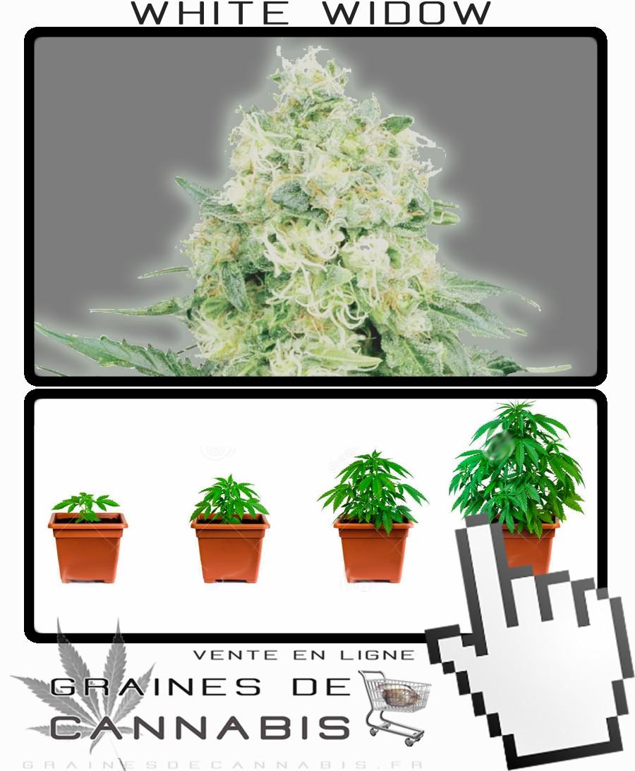 Acheter graines de la white widow f minis e for Acheter plante sur internet