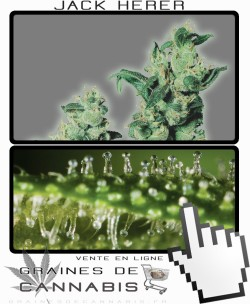 Quand récolter Jack Herer cannabis?