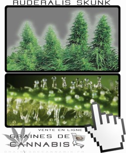 Quand récolter Ruderalis Skunk cannabis?