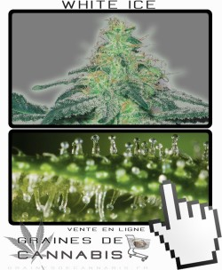 Quand récolter White Ice cannabis?
