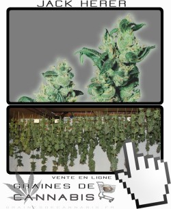 Comment sécher la Jack Herer?