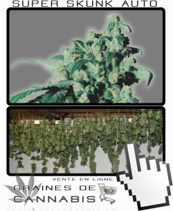 Comment sécher la Super Skunk Auto-florissante?