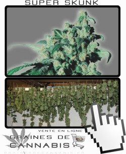 Comment sécher la Super Skunk?