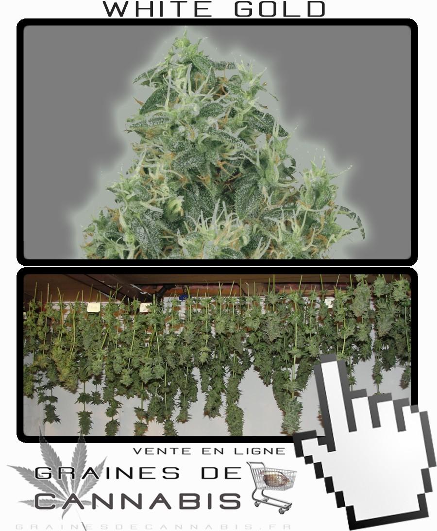 Graines de cannabis à très haut rendement, récolte géante